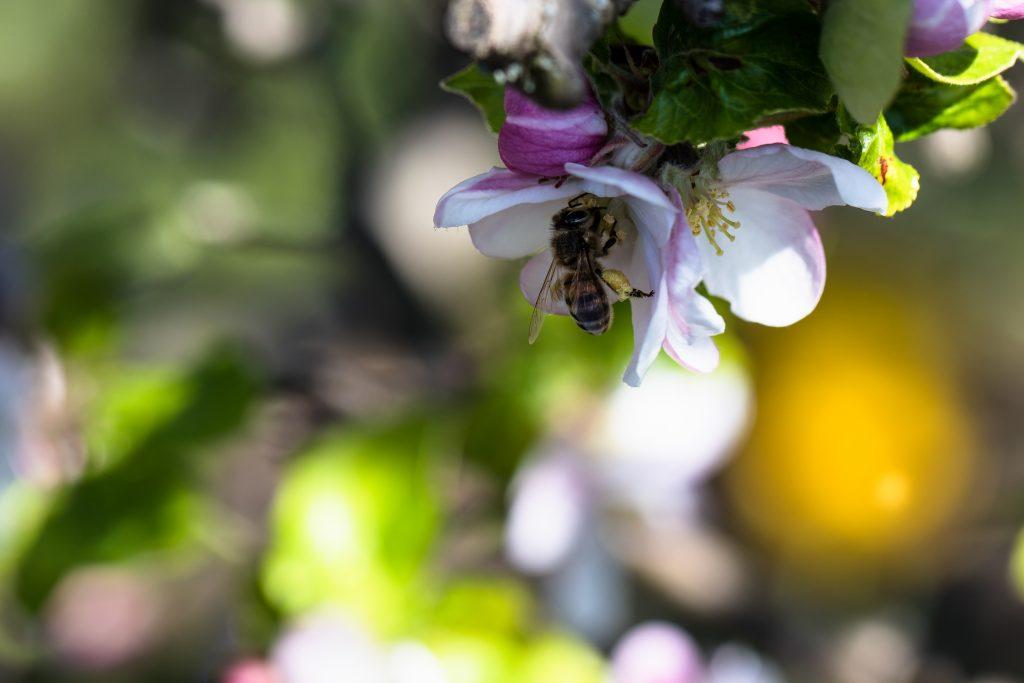 Apfelblüte von Ute Kopka (Halle/Saale)